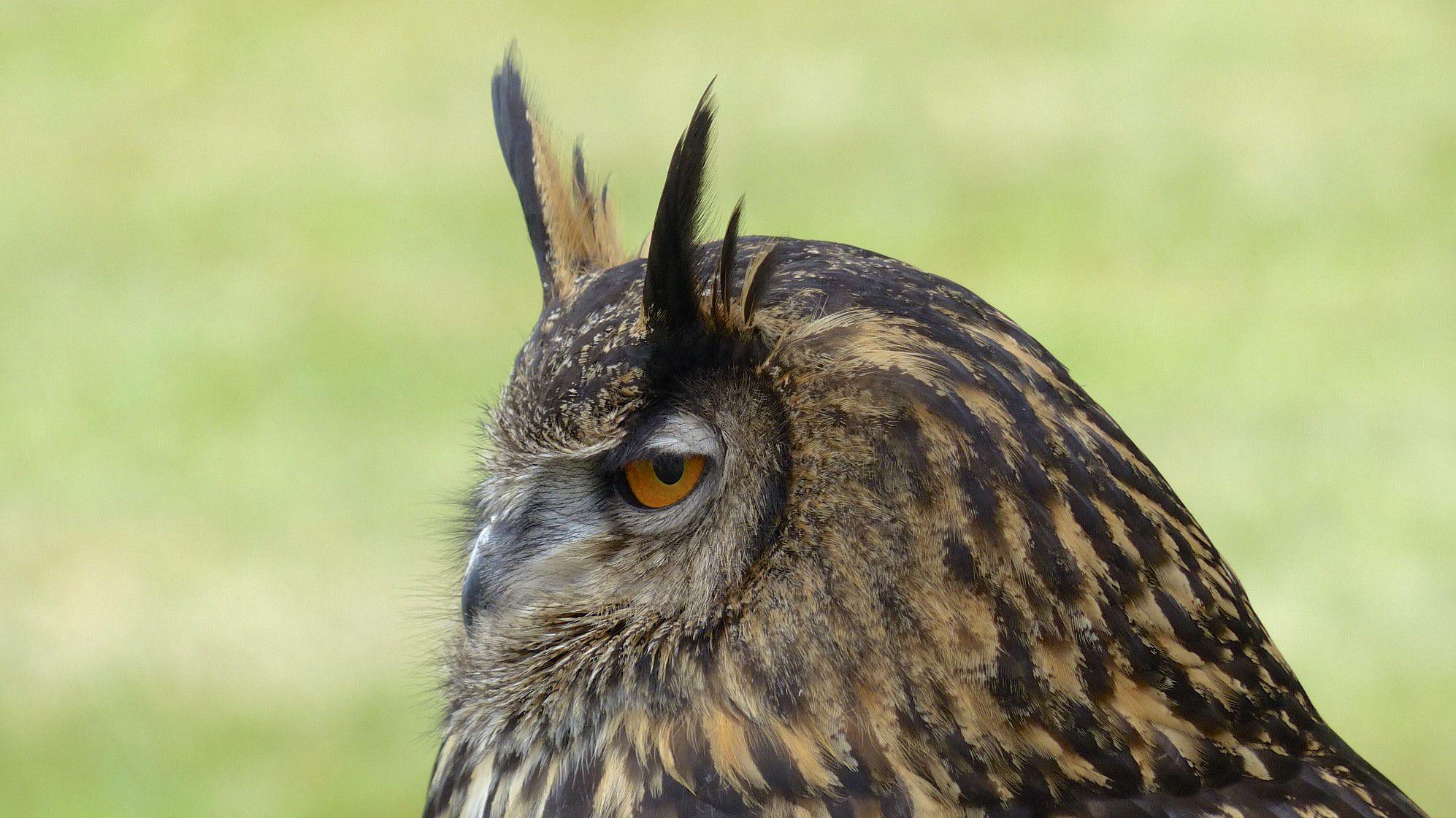 Long Eared Owl 4k