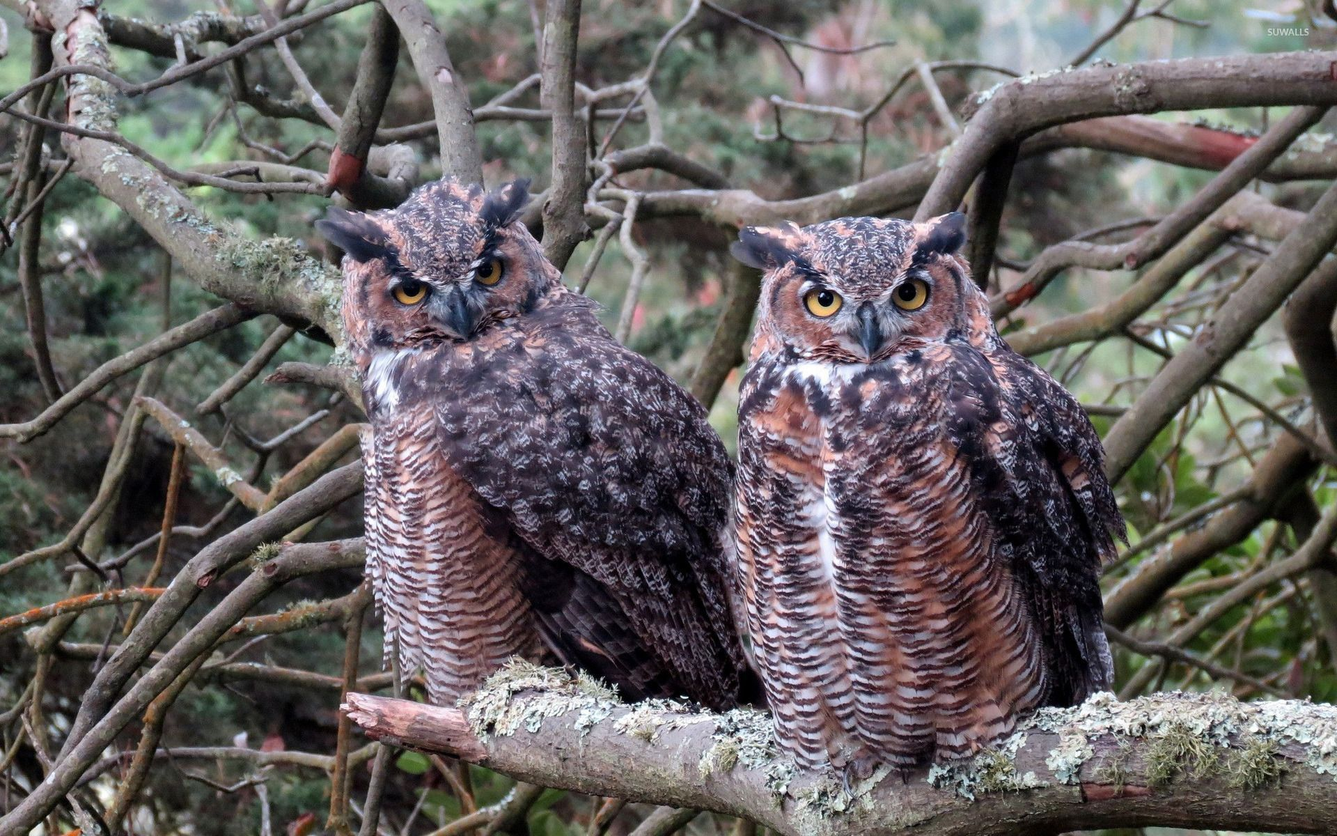 Long Eared Owl Background