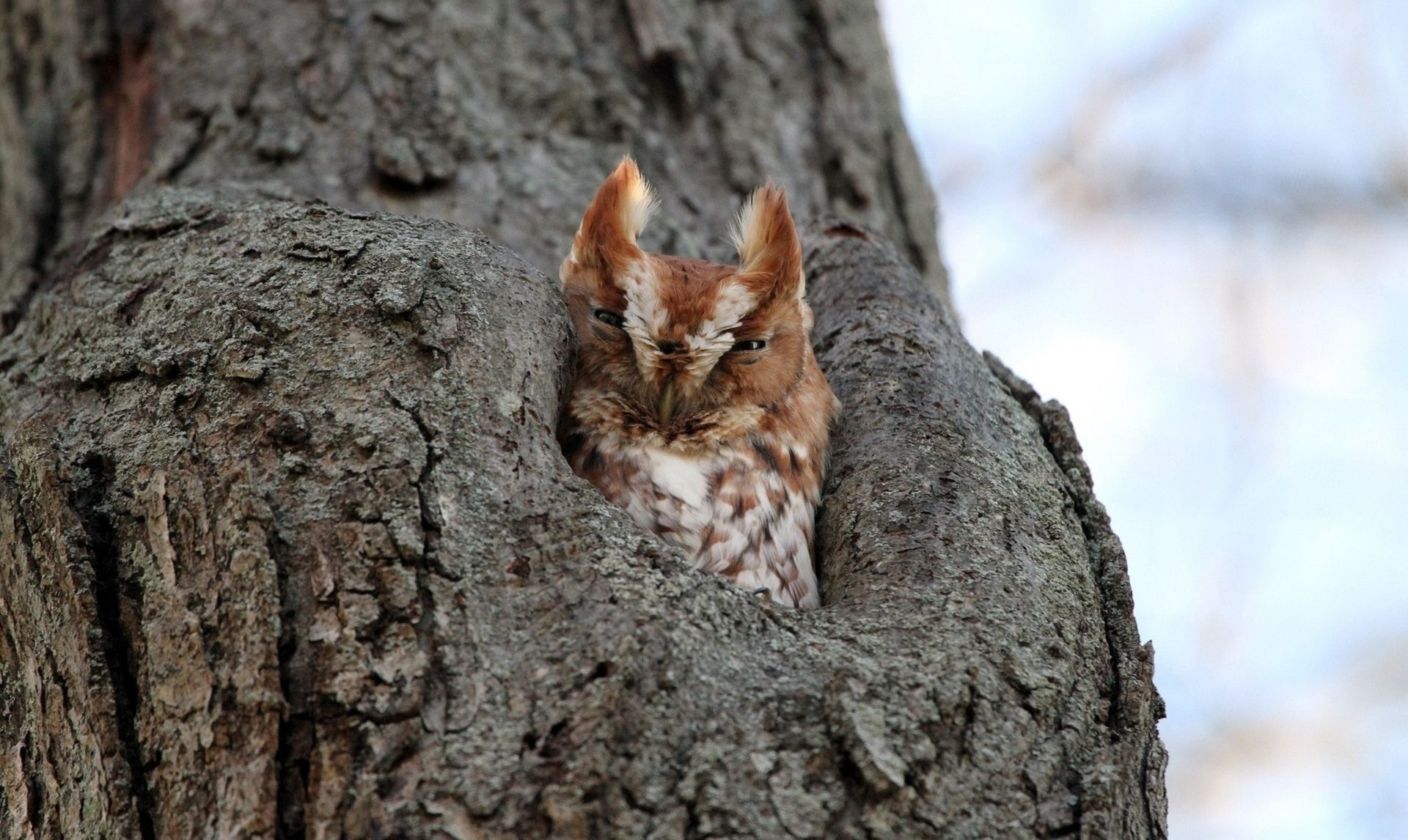 Long Eared Owl Computer Wallpaper