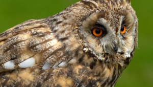 Long Eared Owl Hd
