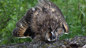 Long Eared Owl Hd Background