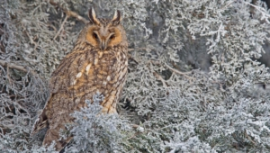 Long Eared Owl Hd Wallpaper