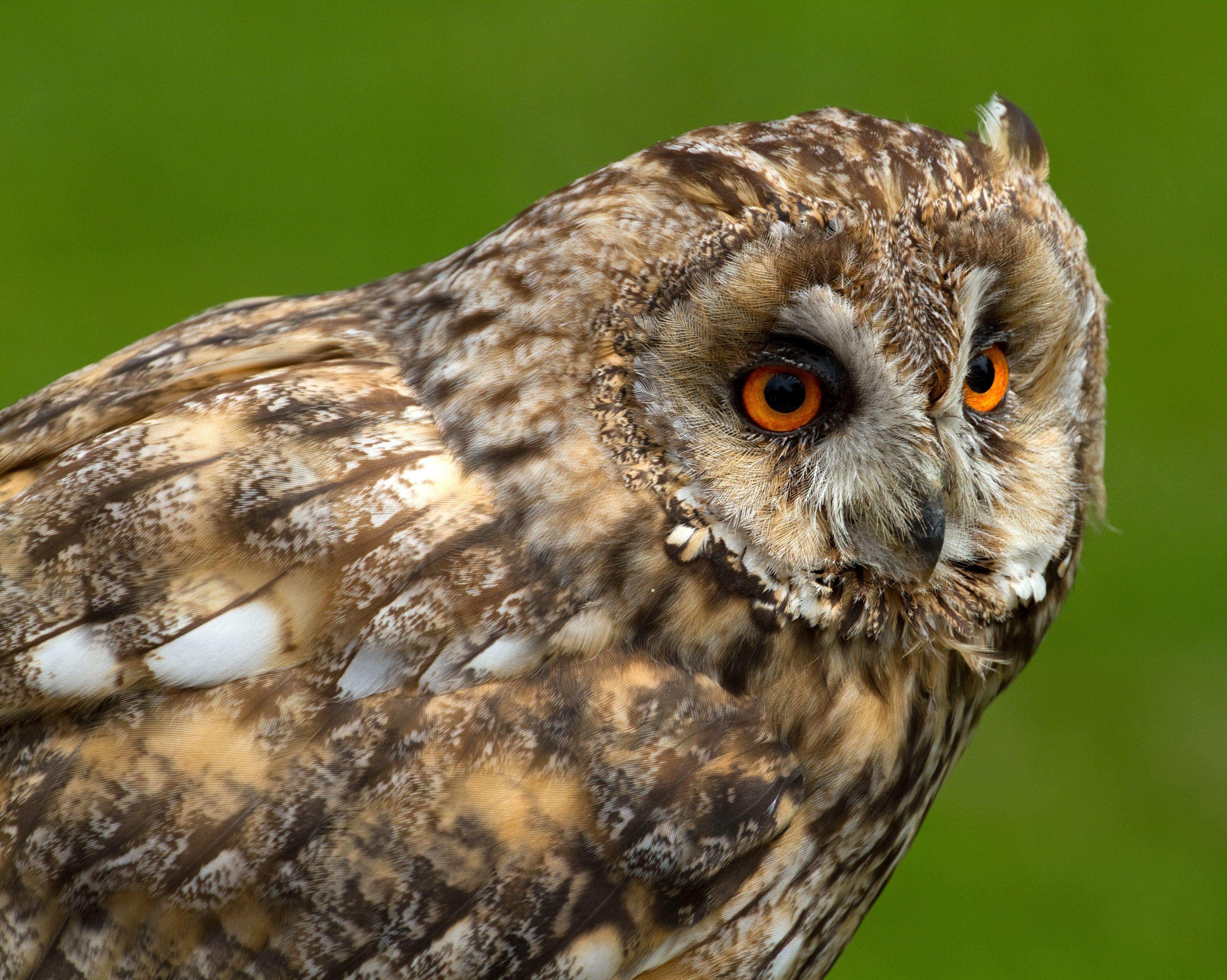 Long Eared Owl Hd