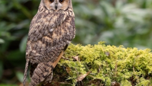 Long Eared Owl Photos