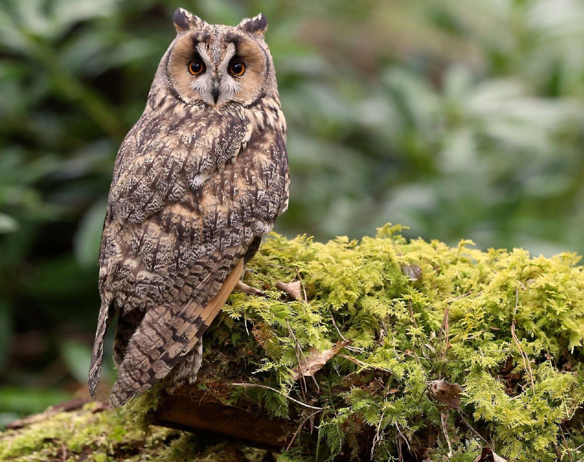 Long Eared Owl Photos