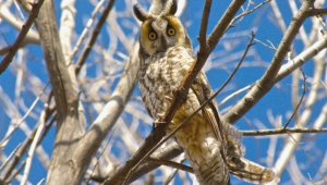 Long Eared Owl Wallpaper