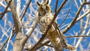 Long Eared Owl Wallpaper