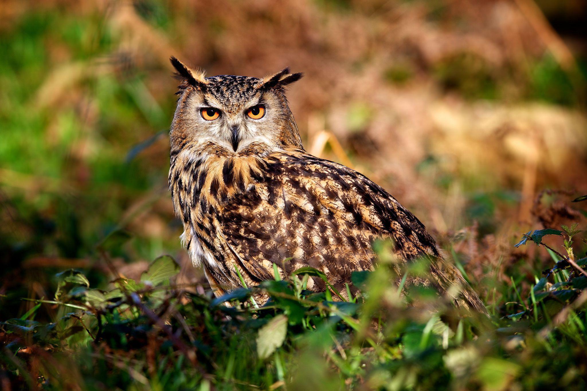 Long Eared Owl Wallpapers Hd
