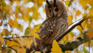 Long Eared Owl Widescreen