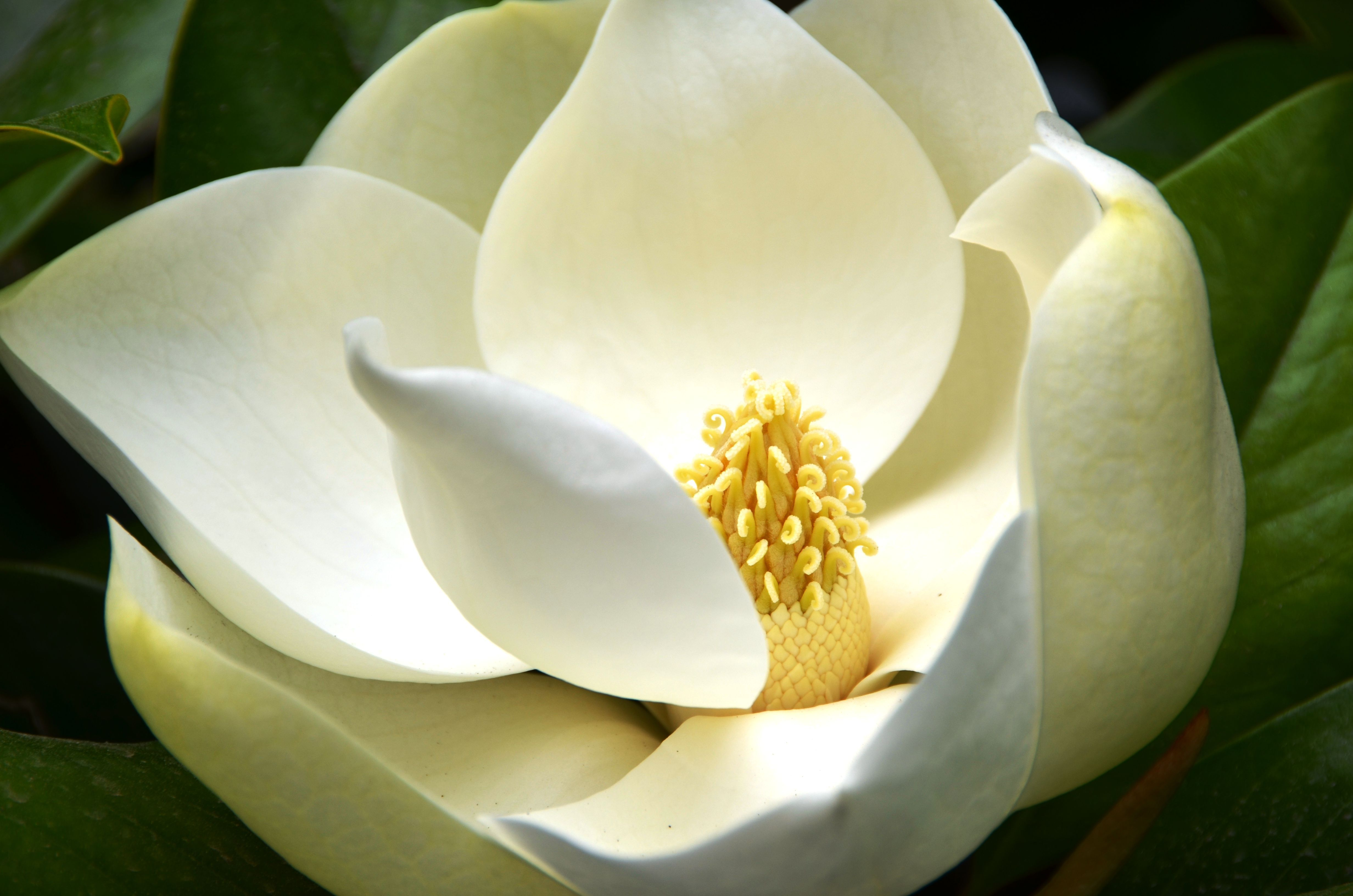 Magnolia Desktop Images