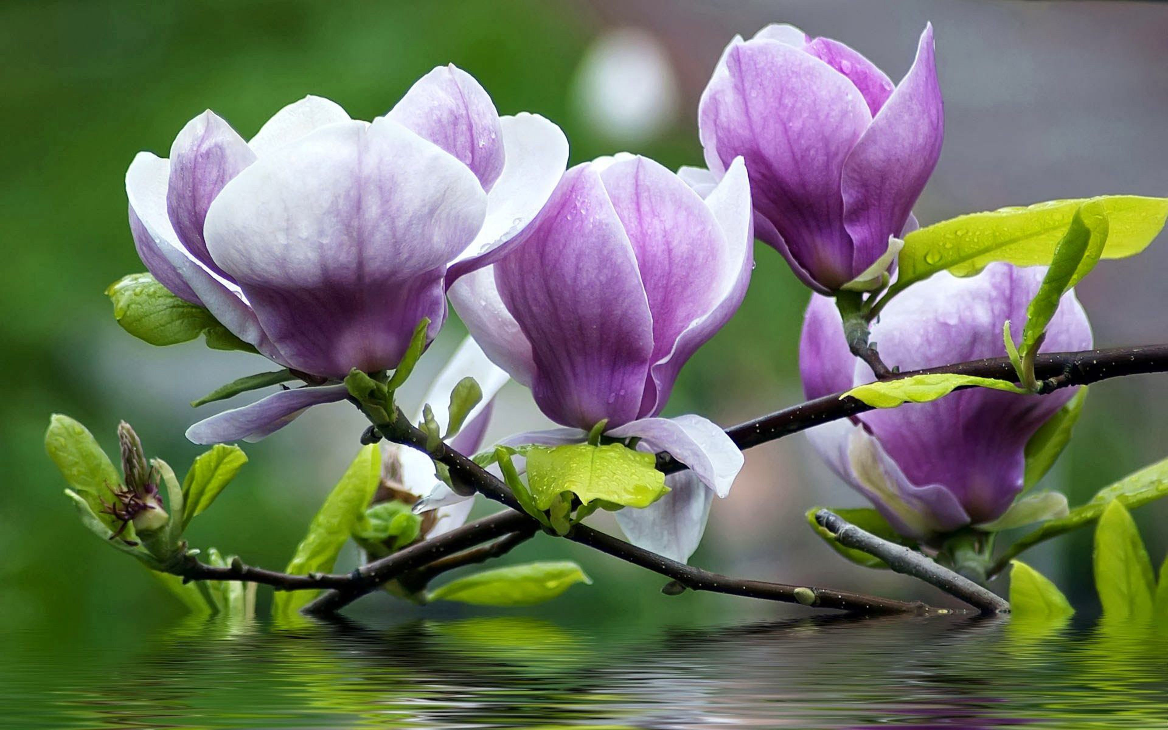 Magnolia Hd