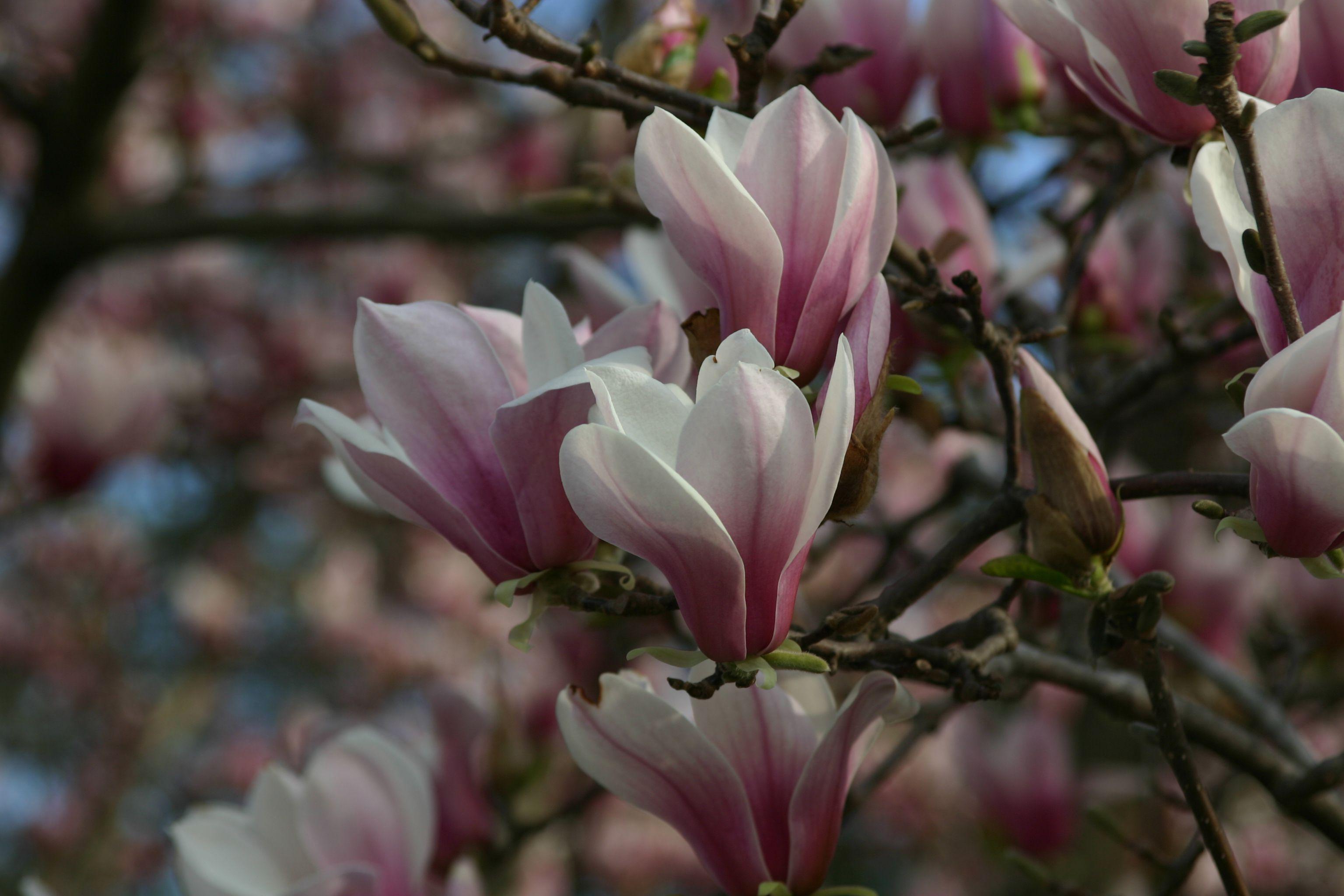 Magnolia High Definition