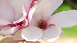 Magnolia Wallpapers And Backgrounds