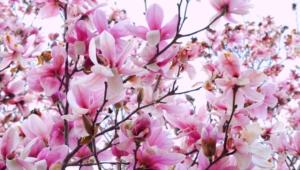 Magnolia For Desktop Background