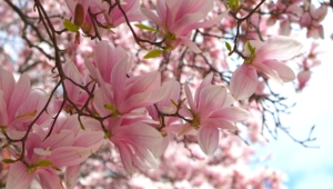 Magnolia Full Hd
