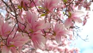 Magnolia Full Hd
