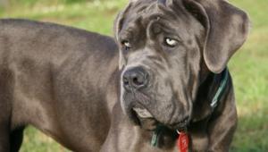 Mastiff 4k