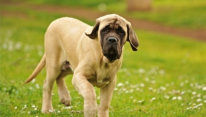 Mastiff High Definition Wallpapers