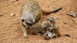 Meerkat Desktop