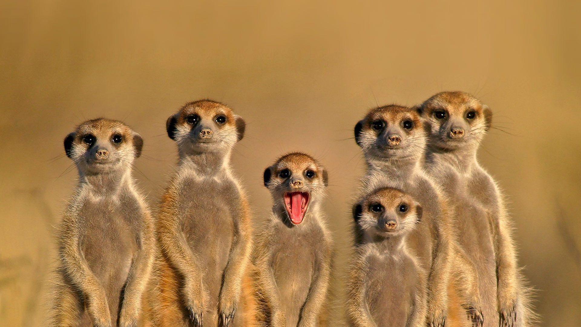 Meerkat Desktop Images