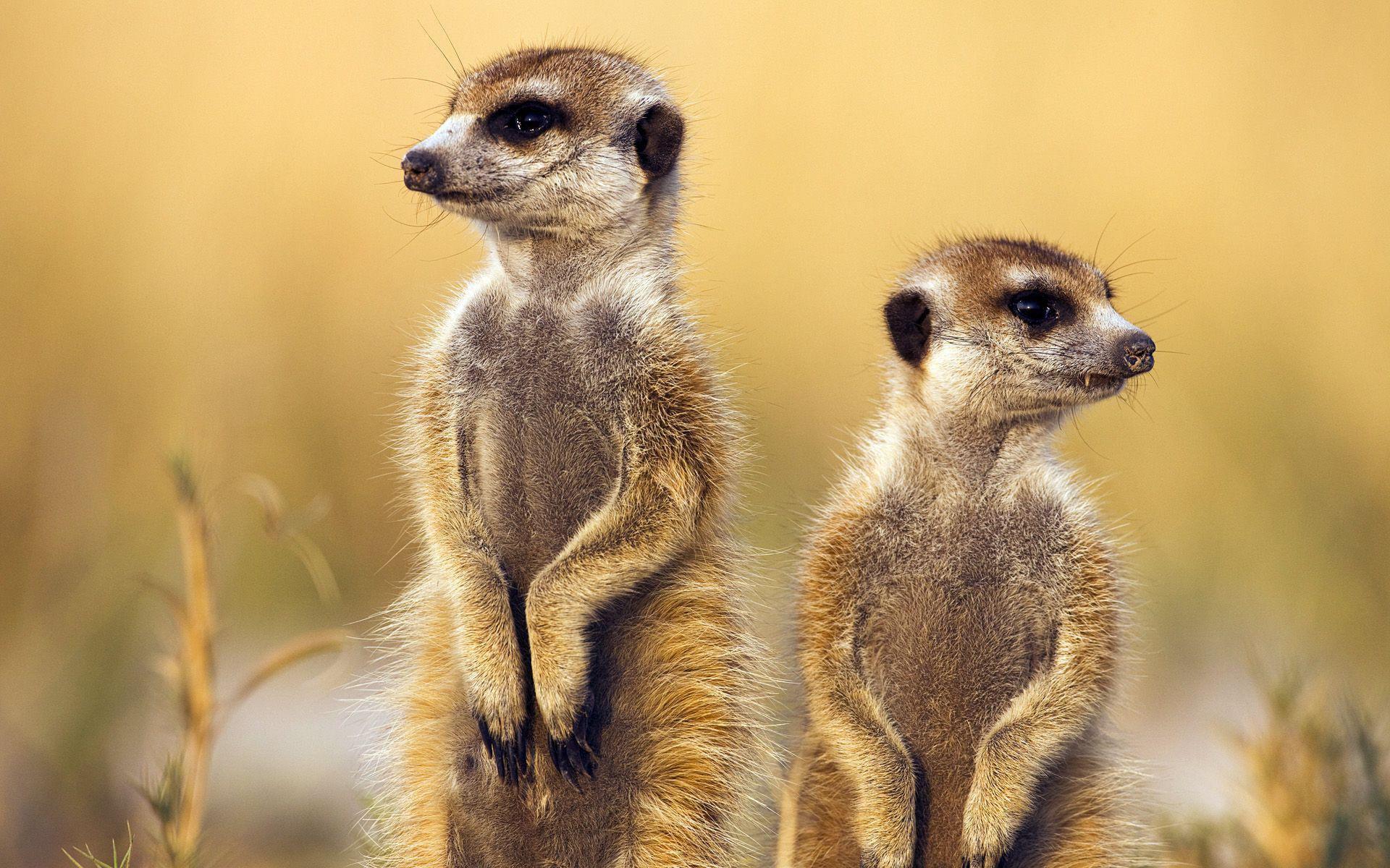 Meerkat Download Free Backgrounds Hd