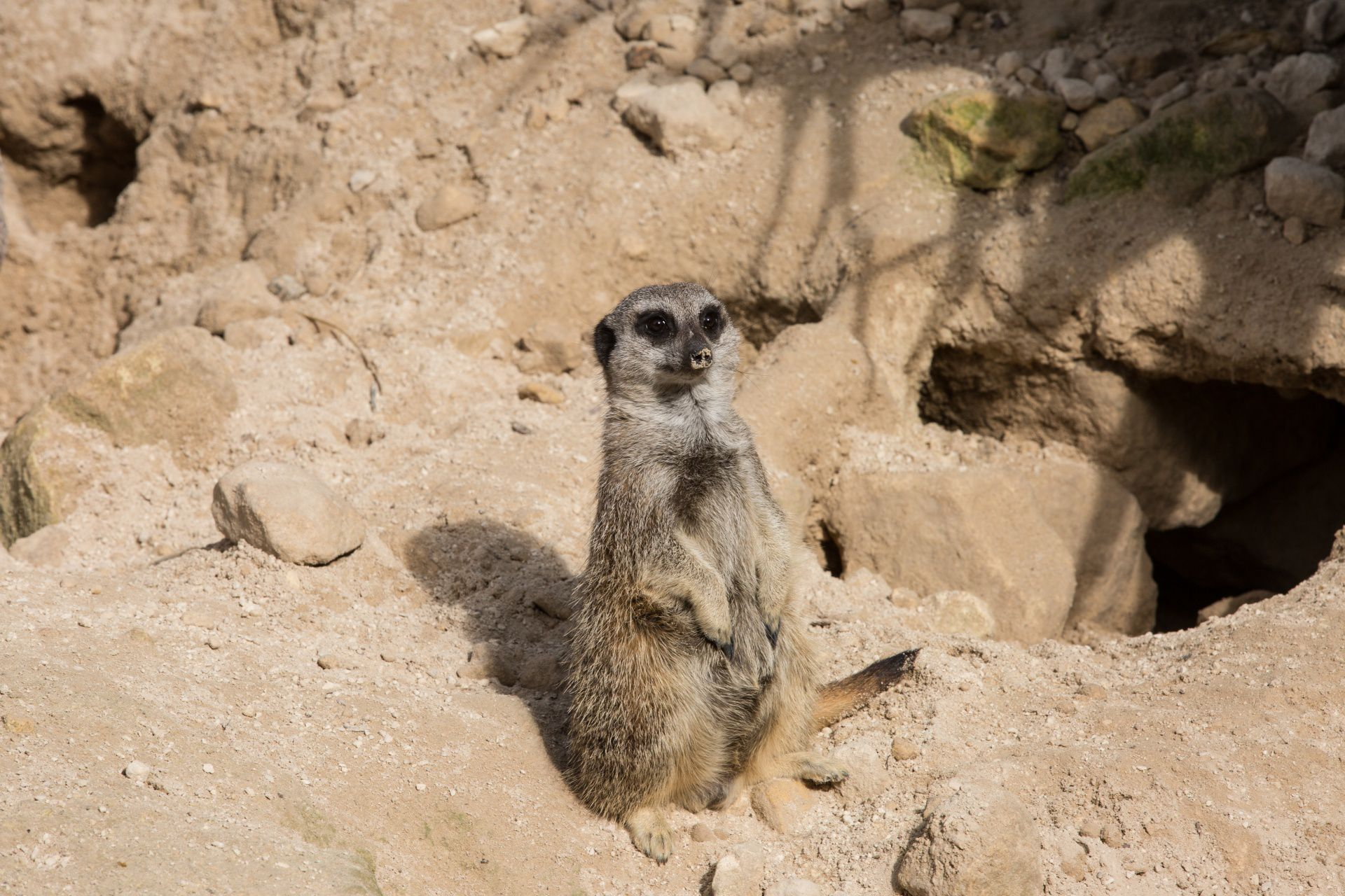 Meerkat Download
