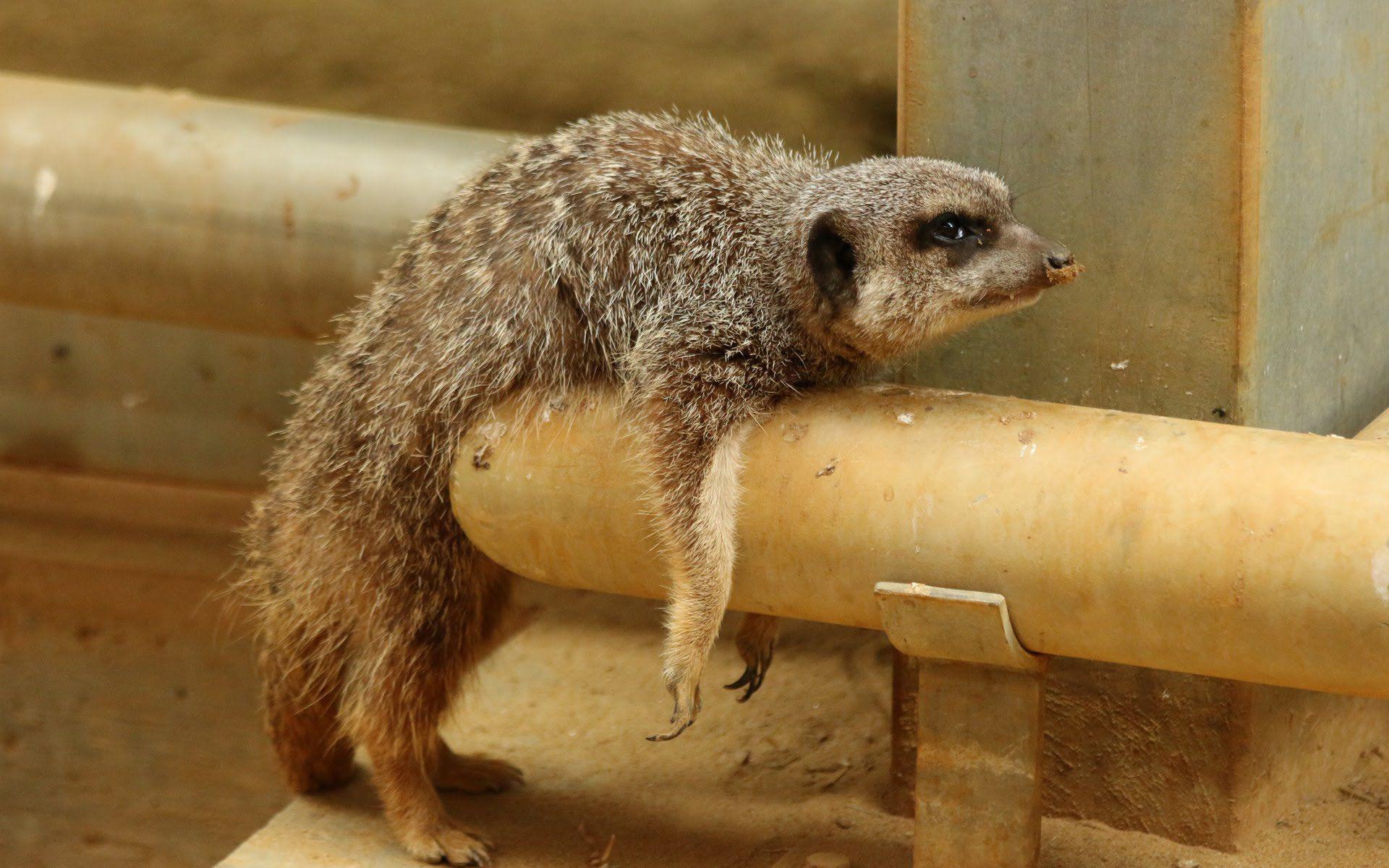 Meerkat Hd Desktop