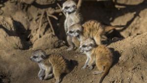 Meerkat Hd Pics
