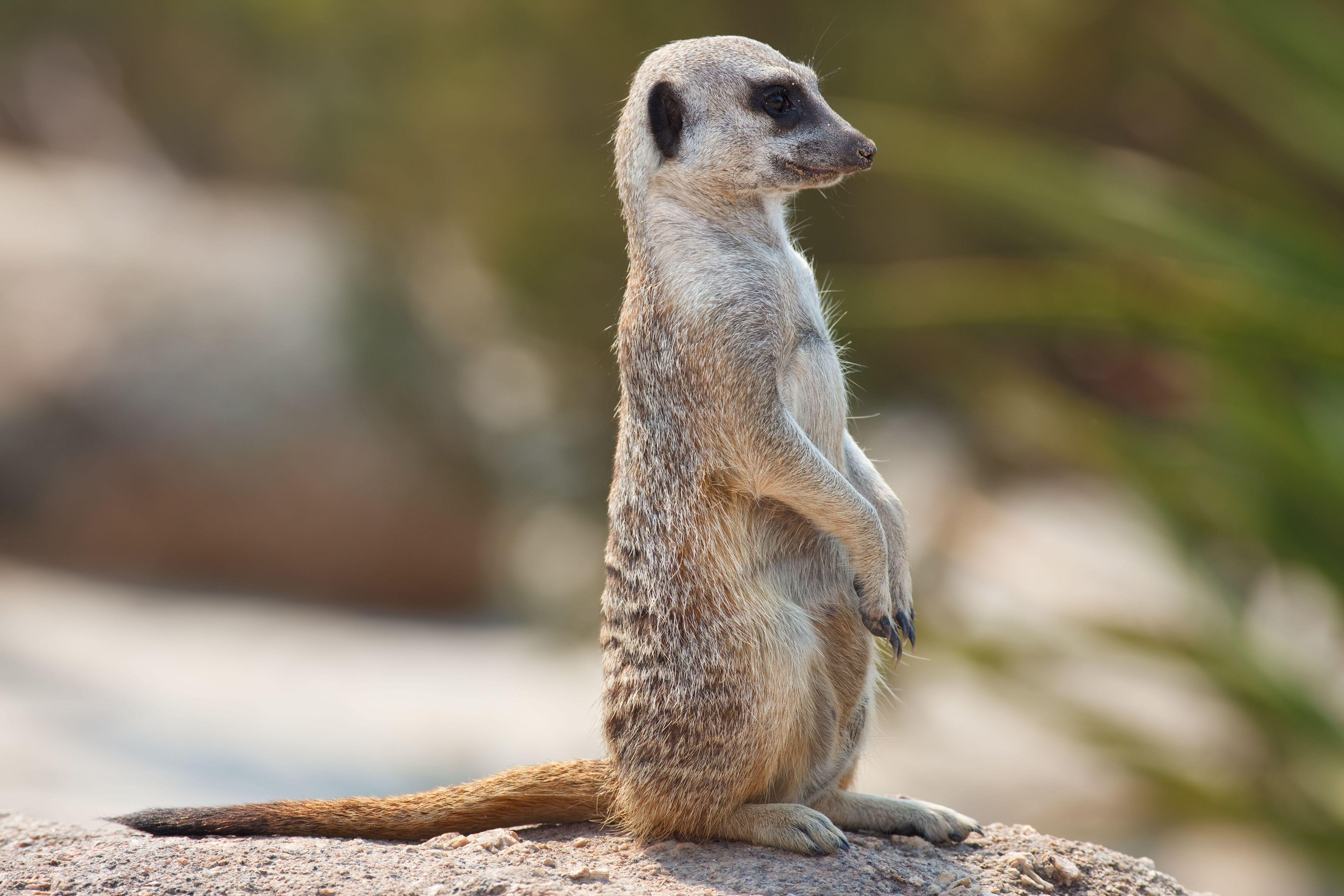 Meerkat Hq
