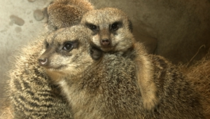 Meerkat High Quality Wallpapers