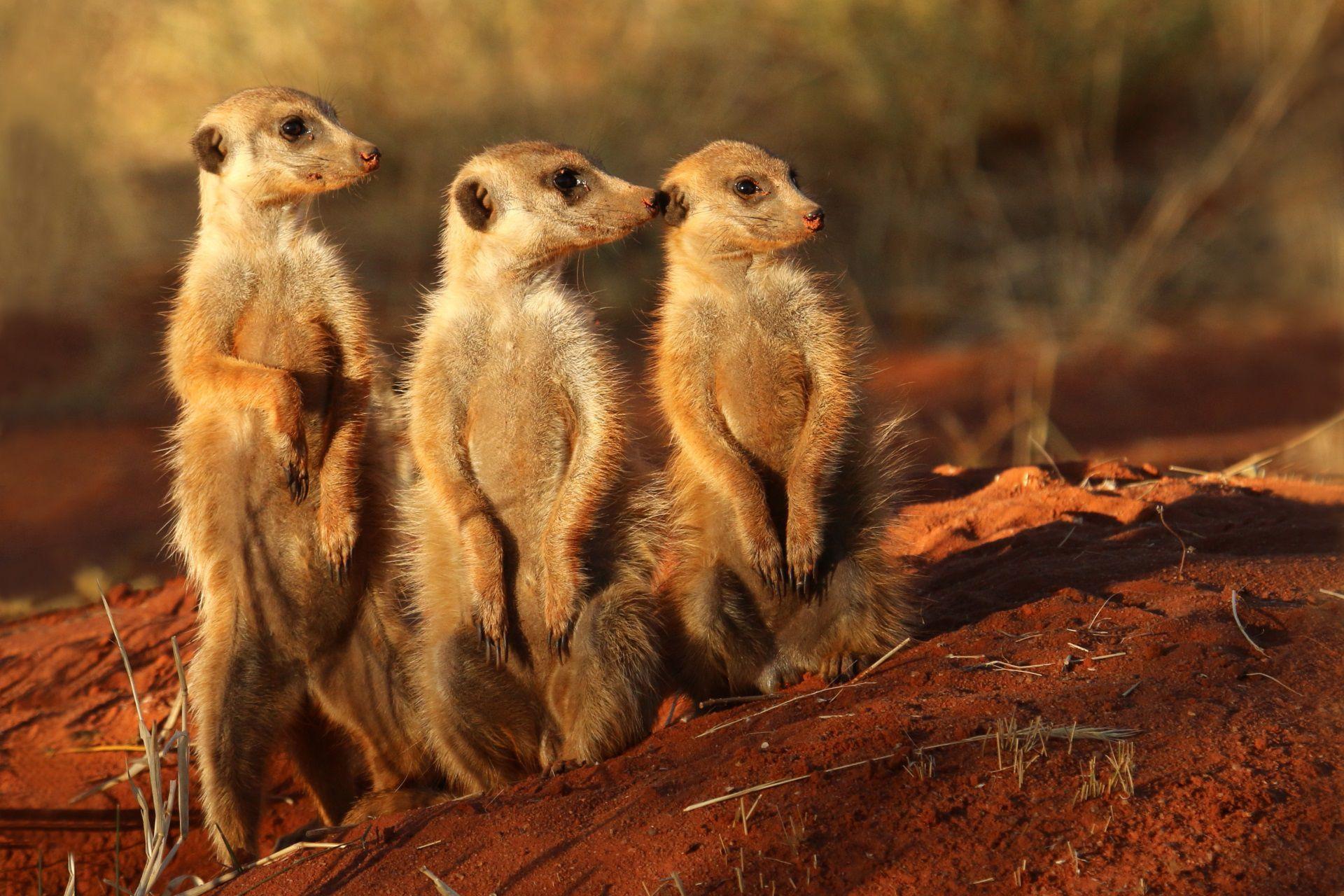 Meerkat New Wallpaper