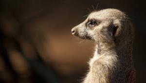 Meerkat Pics