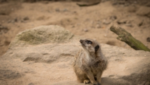 Meerkat Wallpapers And Backgrounds