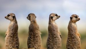 Meerkat Free Images