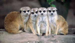 Meerkat Wallpaper For Windows