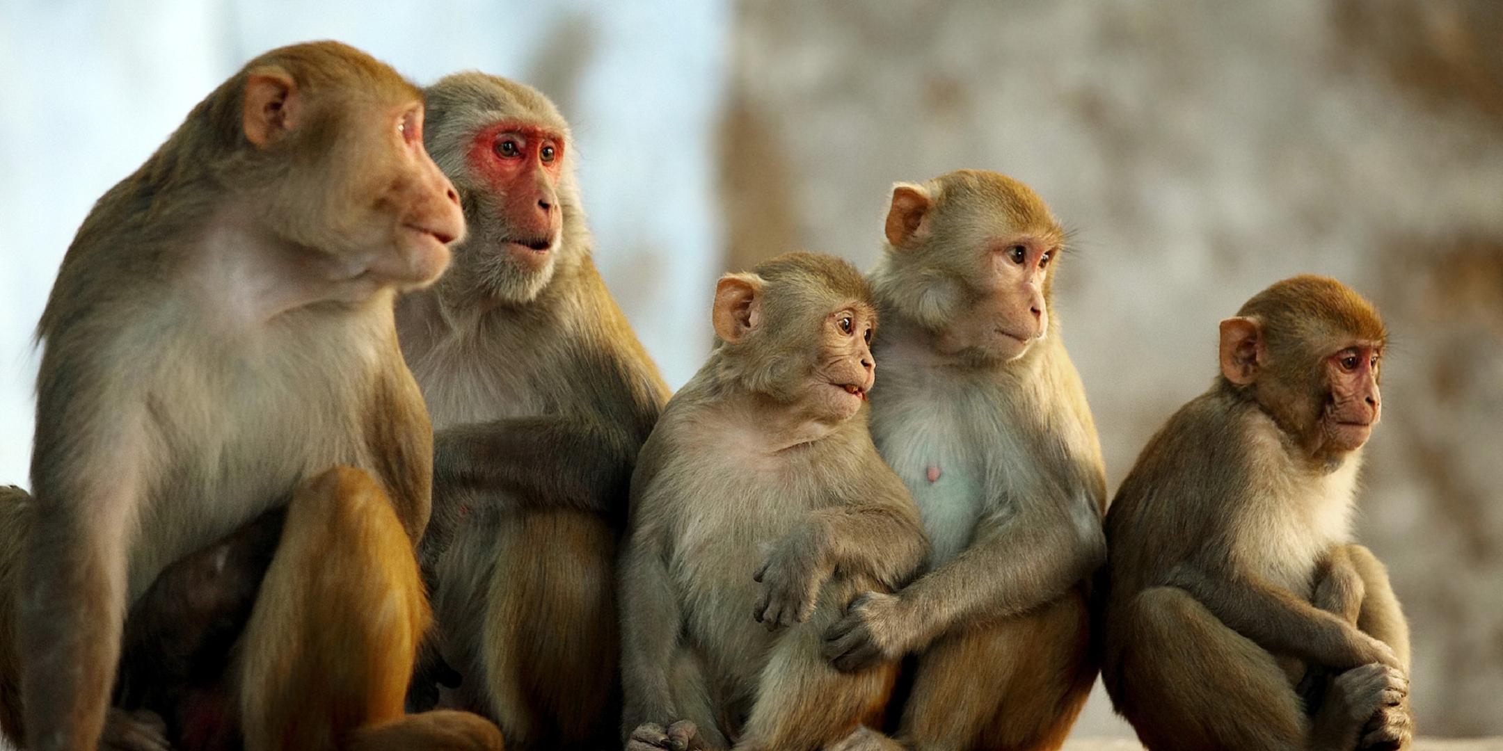 Monkey For Desktop