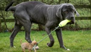 Neapolitan Mastiff High Definition