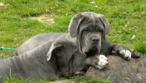 Neapolitan Mastiff Photos