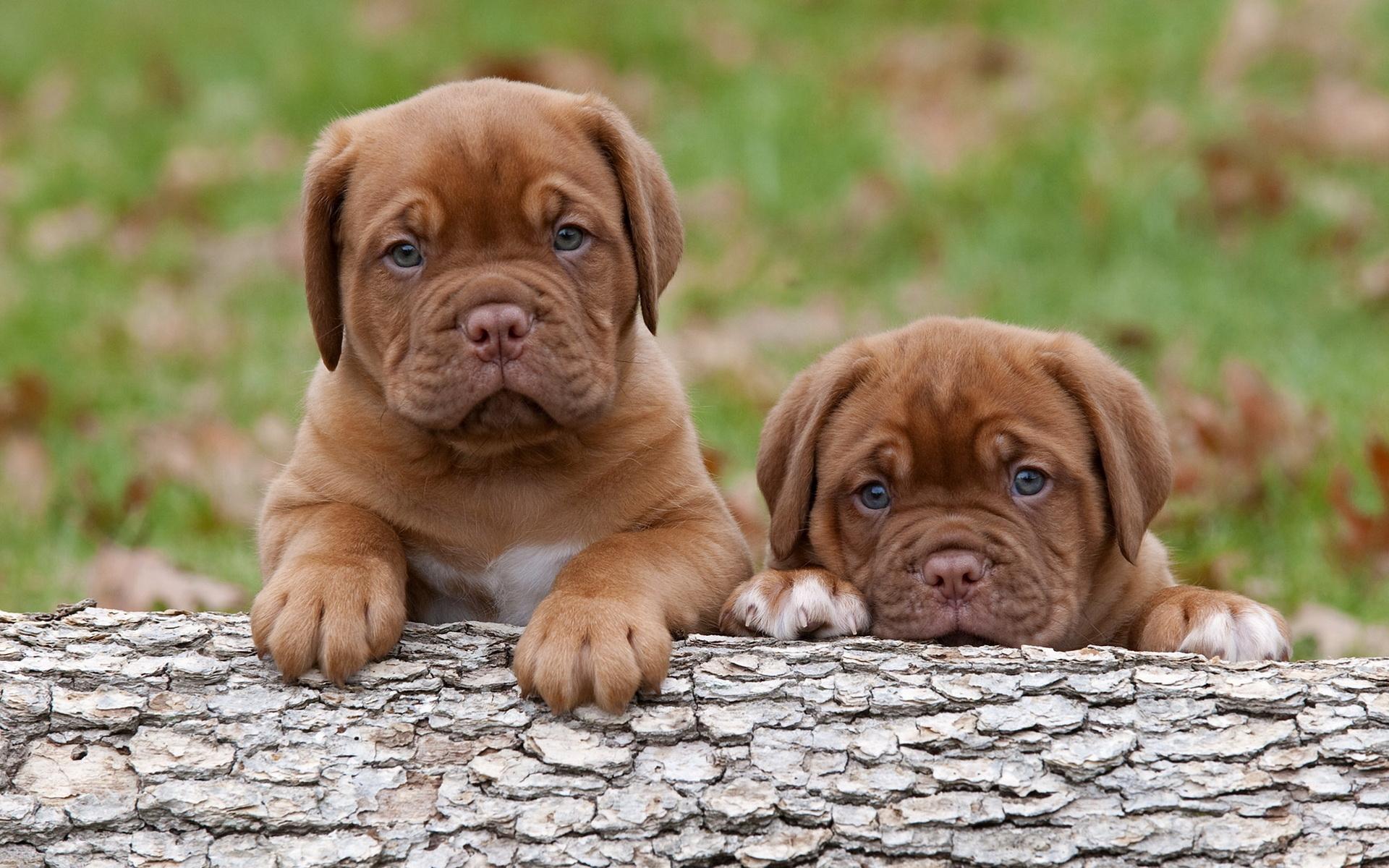 Neapolitan Mastiff Pictures