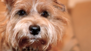 Norfolk Terrier 4k