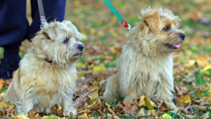 Norfolk Terrier Hd Background