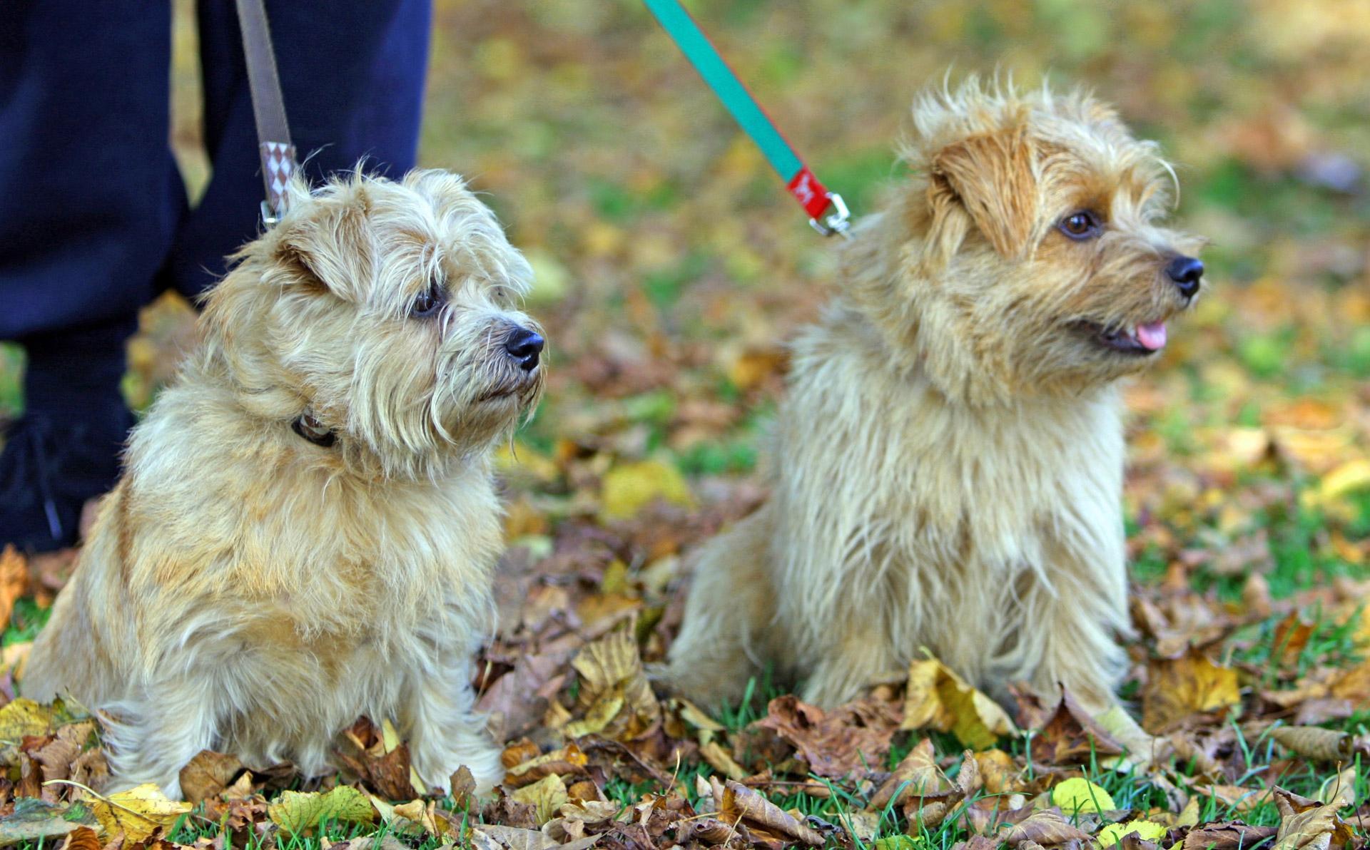 Norfolk Terrier Hd Background