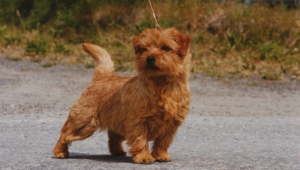 Norfolk Terrier Hd Desktop