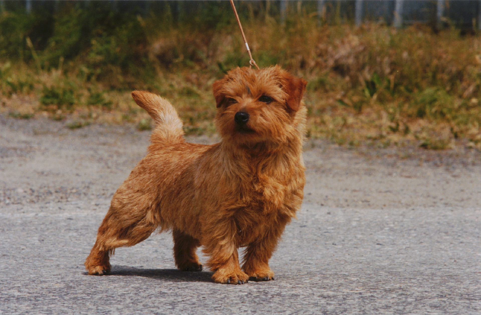 Norfolk Terrier Hd Desktop
