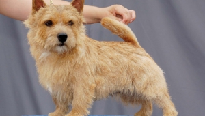 Norfolk Terrier Hd Wallpaper