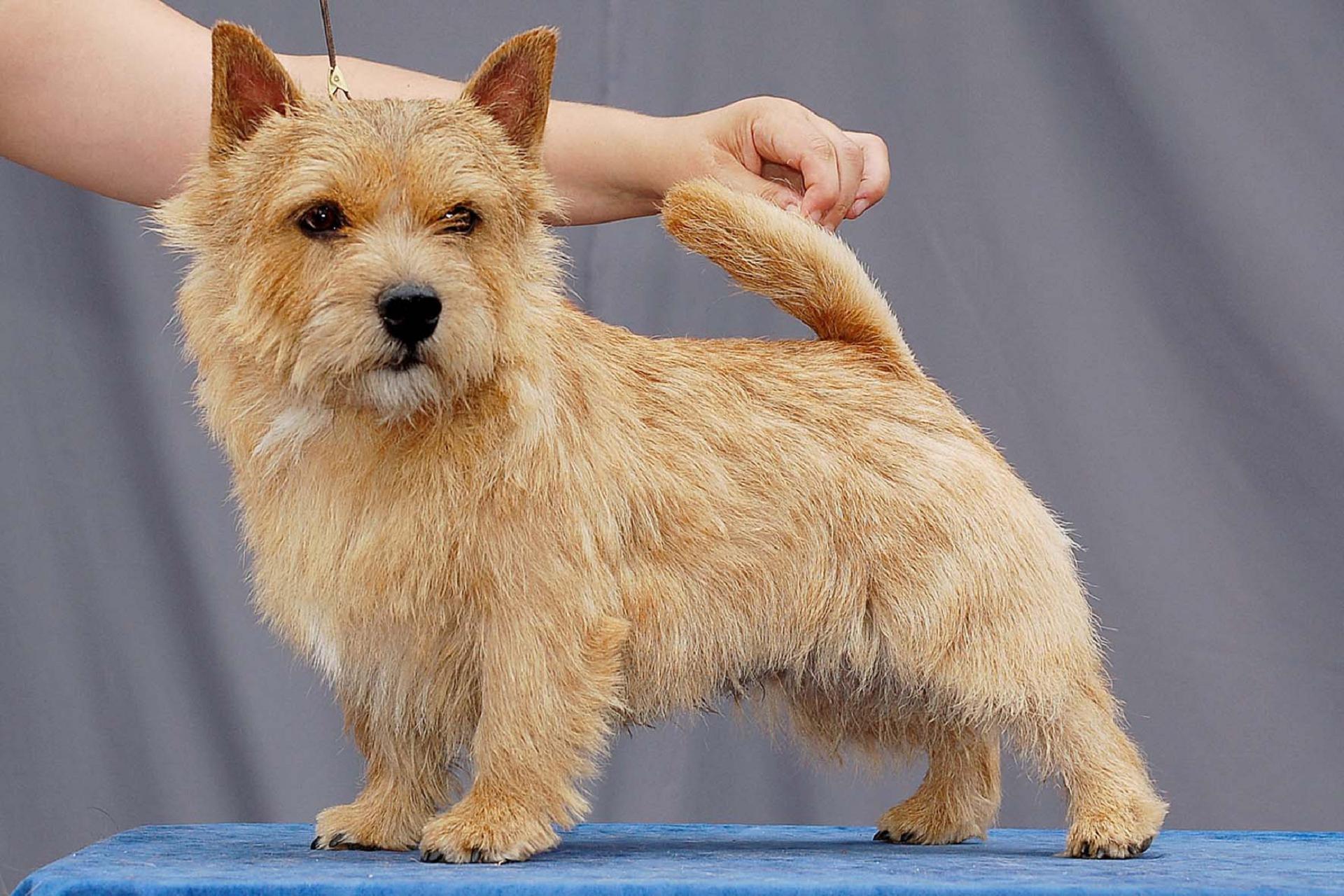 Norfolk Terrier Hd Wallpaper