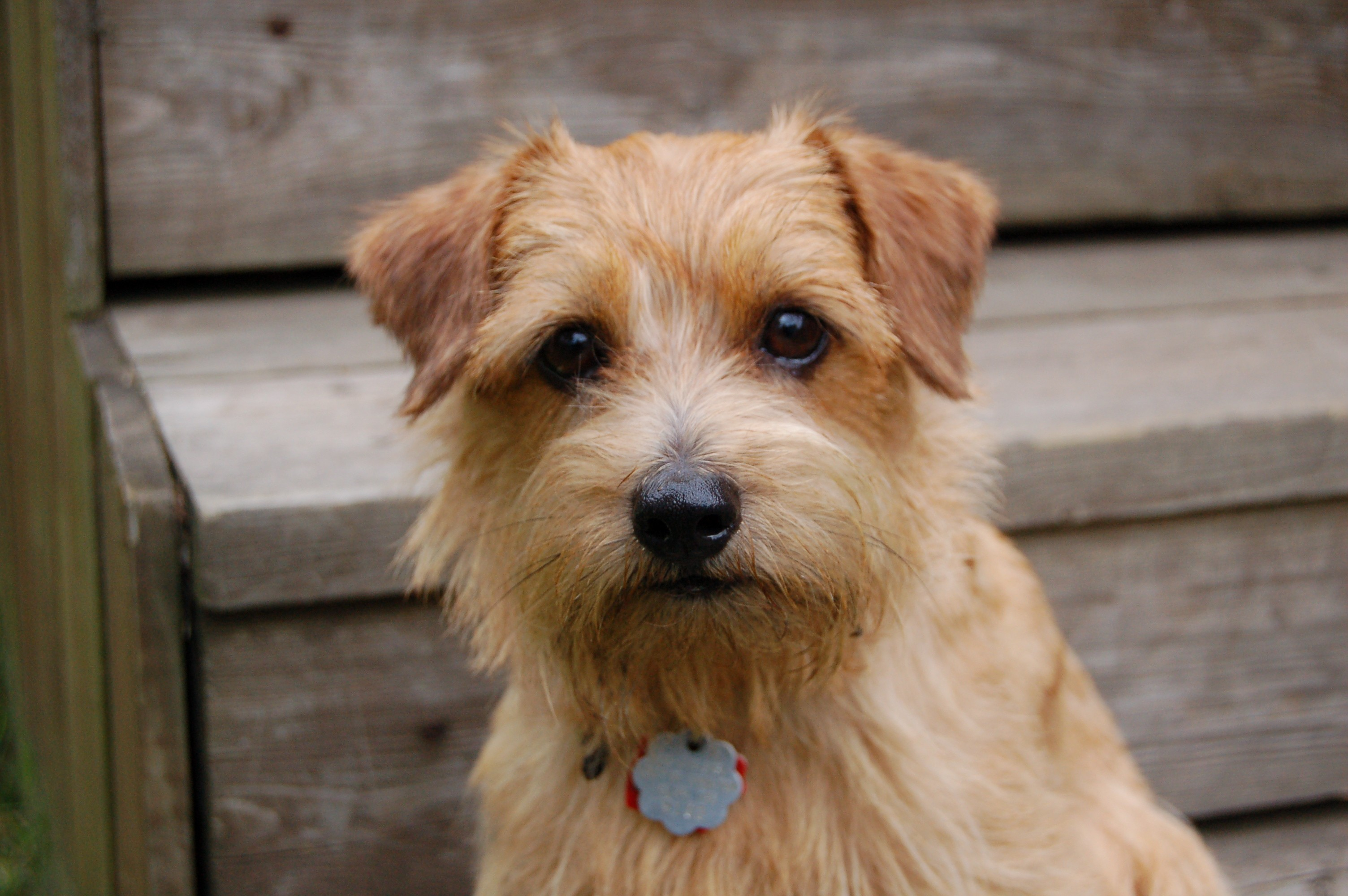 Norfolk Terrier High Quality Wallpapers
