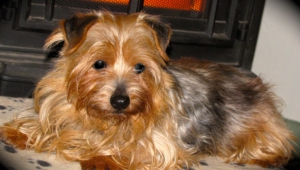 Norfolk Terrier Images