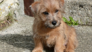 Norfolk Terrier Pictures