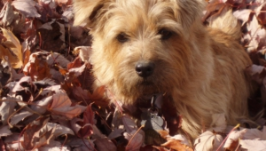 Norfolk Terrier Wallpapers Hd